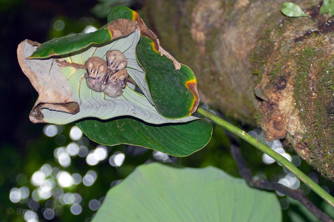 Five tent-making bats (Uroderma bilobatum) in a chewed and folded banana leaf & Brett Cole Photography   Five tent-making bats (Uroderma bilobatum ...