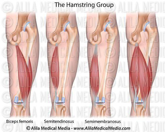 Alila Medical Media | Músculos isquiotibiales | Ilustración médica