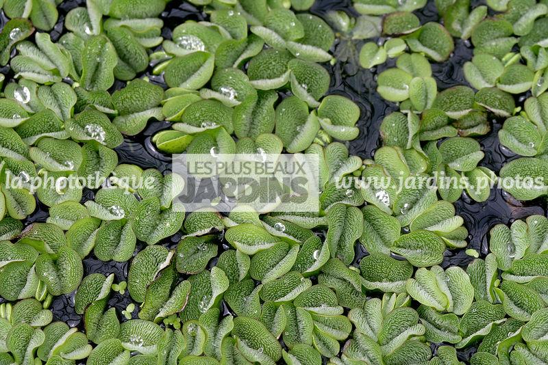 plante aquatique depolluante