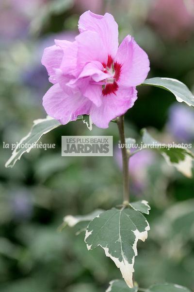 la photothèque | LES PLUS BEAUX JARDINS | Hibiscus syriacus \'Van ...