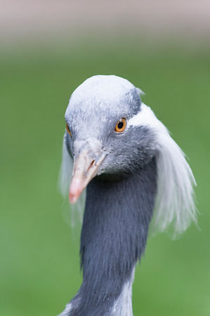 Demoiselle Crane (as shot)