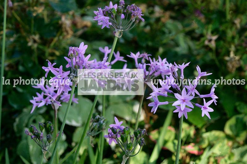 la phototh que les plus beaux jardins tulbaghia violacea harv wild garlic alliaceae. Black Bedroom Furniture Sets. Home Design Ideas