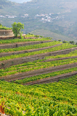 Terraced vineyards in Vale Mendiz. Alto Douro, a Unesco World Heritage Site, Portugal