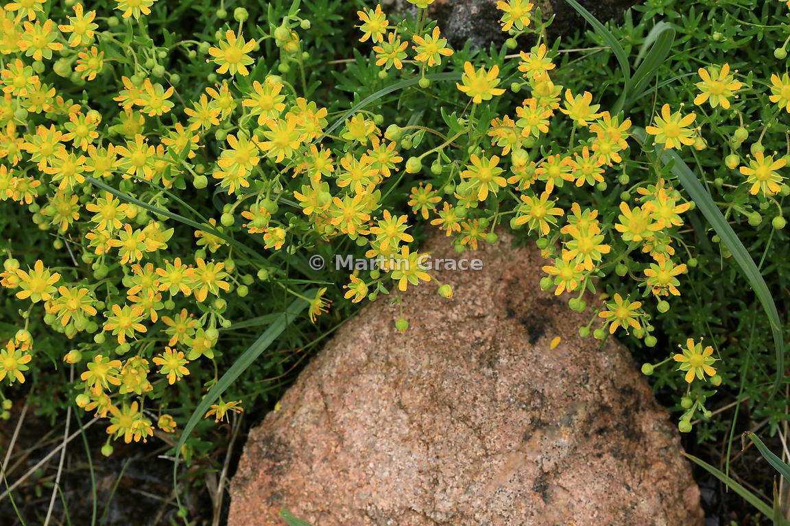 Martin Grace Photography Yellow Saxifrage Yellow Mountain