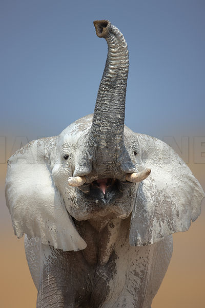Marvelous Elephant Head Close Up With Trunk Raised High In The Air