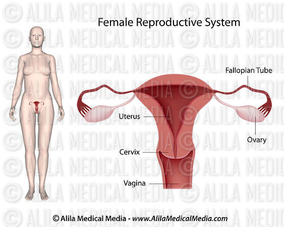 Alila Medical Media | Sistema reproductivo femenino, diagrama ...