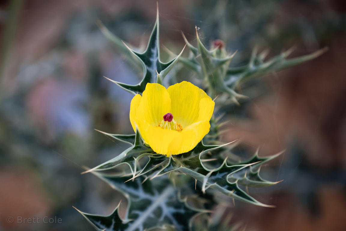 Brett Cole Photography Yellow Flower On Thistle Sp Growing In