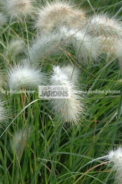 La Phototheque Les Plus Beaux Jardins Pennisetum Villosum Herbe