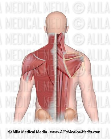 Alila Medical Media Back And Neck Muscles Superficial And Deep