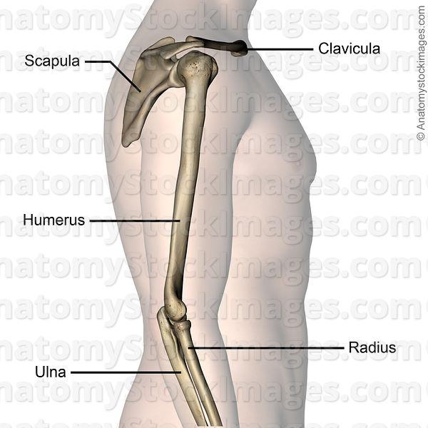 Anatomy Stock Images Upper Arm Bones Scapula Shoulder Blade Joint
