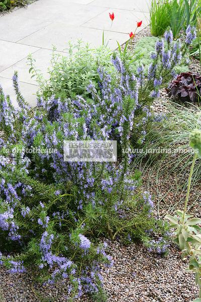 la phototh que les plus beaux jardins rosmarinus officinalis 39 pointe du raz 39 romarin. Black Bedroom Furniture Sets. Home Design Ideas