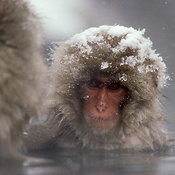Snow Monkeys photos