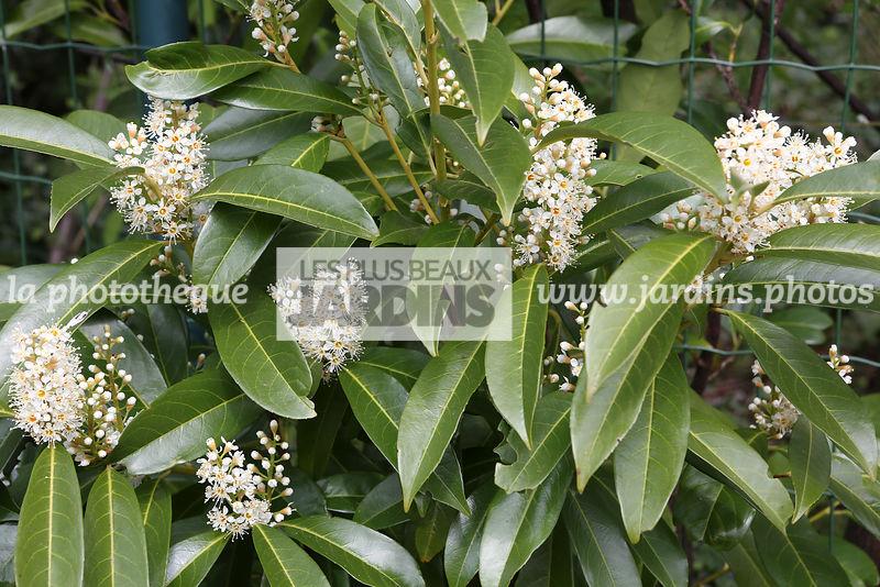 La Phototheque Les Plus Beaux Jardins Prunus Laurocerasus L