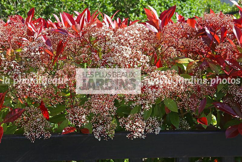 La Phototheque Les Plus Beaux Jardins Photinia X Fraseri Red