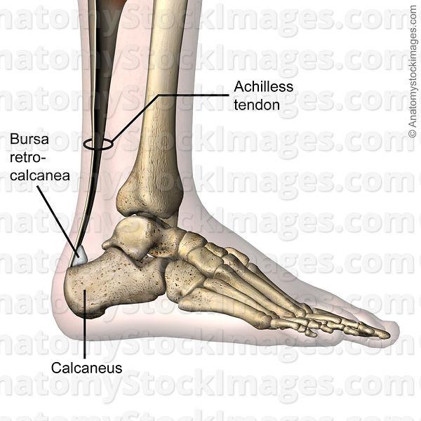 Anatomy Stock Images Ankle Retrocalcaneal Bursa Retrocalcanea