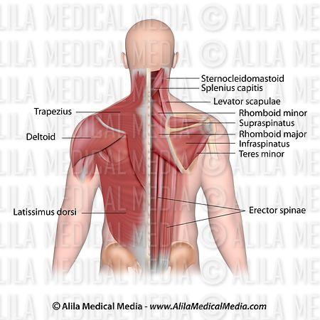 Alila Medical Media   Músculos de la espalda y el cuello ...
