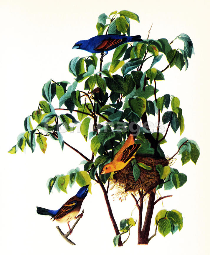 Audubon print Blue Grosbeak