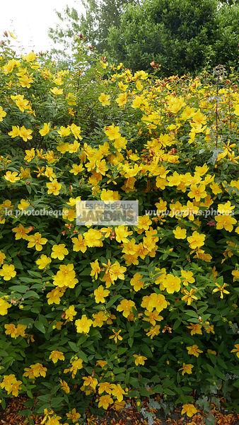 La Phototheque Les Plus Beaux Jardins Haie Hedge Hypericum