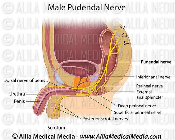 Alila Medical Media | Male Pudendal Nerve. | Medical ...