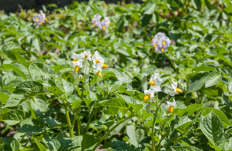 Photo de Fleurs de Solanum tuberosum - fotoflor - grand choix de ...