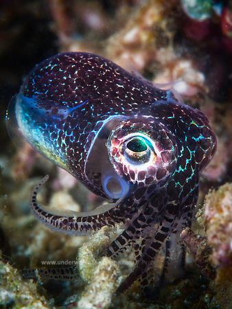 Baby octopus-Cephalopods : how to photograph octopus, shrimps, squids and cuttlefishs