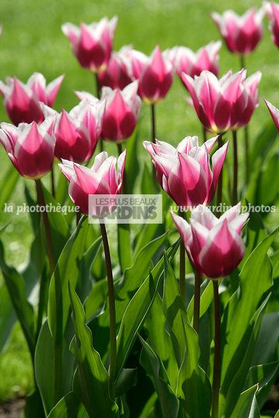 tulipe origine du mot