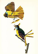 Audubon print Great Crested Flycatcher