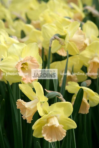 La Phototheque Les Plus Beaux Jardins Narcissus Lorikeet