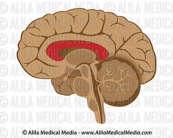 Alila Medical Media | Corpus Callosum | Medical illustration