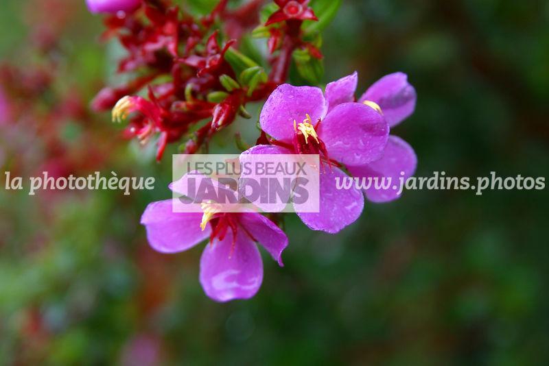 La Phototheque Les Plus Beaux Jardins Heterocentron Elegans