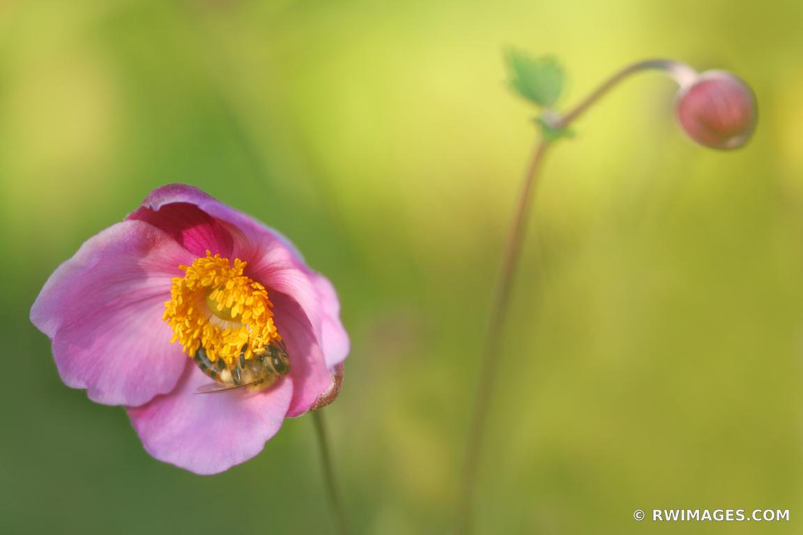 Photo Print of JAPANESE ANEMONE Print Framed Picture Fine Art ...