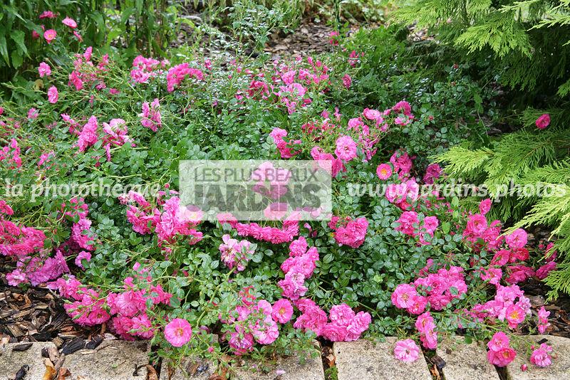la phototh que les plus beaux jardins rosier knirps korverlandus obtenteur kordes 1997. Black Bedroom Furniture Sets. Home Design Ideas