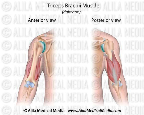 Alila Medical Media Triceps Brachii Muscle Unlabeled Medical