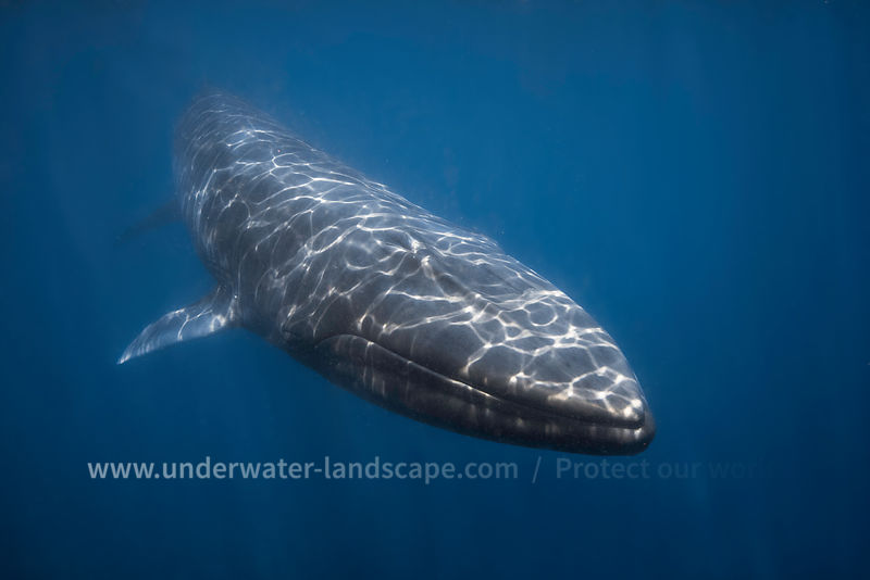 Rorqual d'Omura-Gabriel barathieu-photographe sous marin-Omura's whale