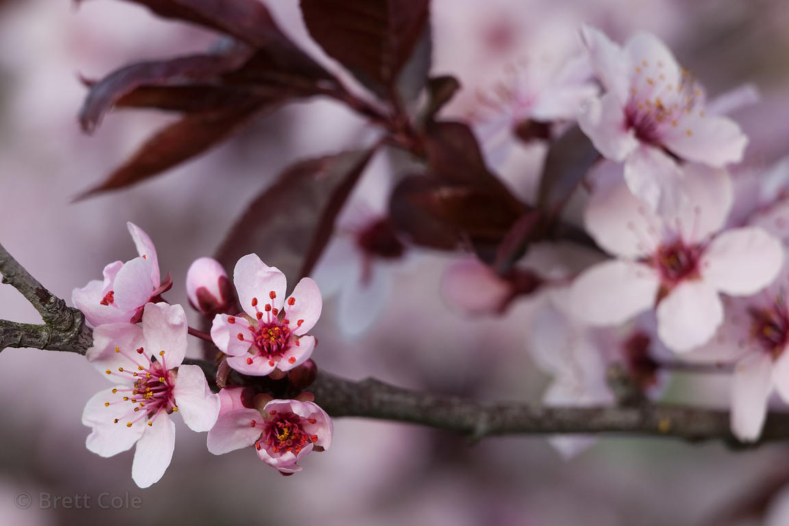 Brett Cole Photography Flowers Of A Cherry Tree Prunus Sp In