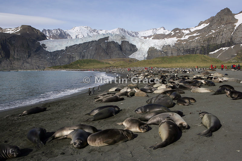 Southern Elephant Seal pups (Mirounga leonina) on the beach at Gold Harbour, South Georgia