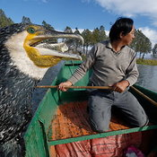 Cormorant Fishing photos