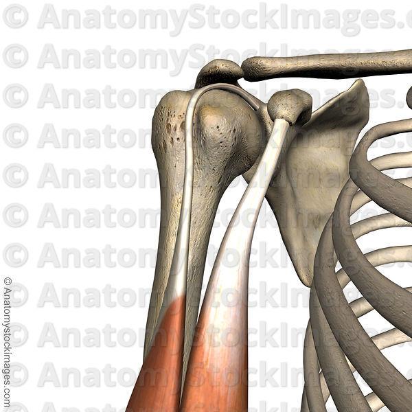 Anatomy Stock Images Shoulder Sulcus Intertubercularis Tuberculum