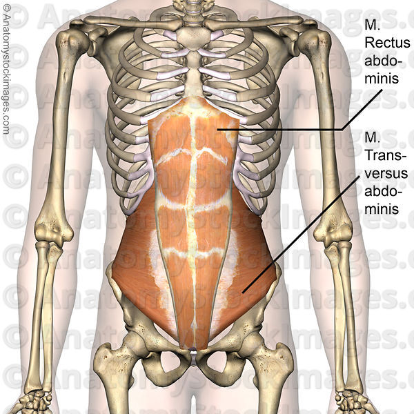 Anatomy Stock Images Torso Abdominal Muscles Musculus Rectus