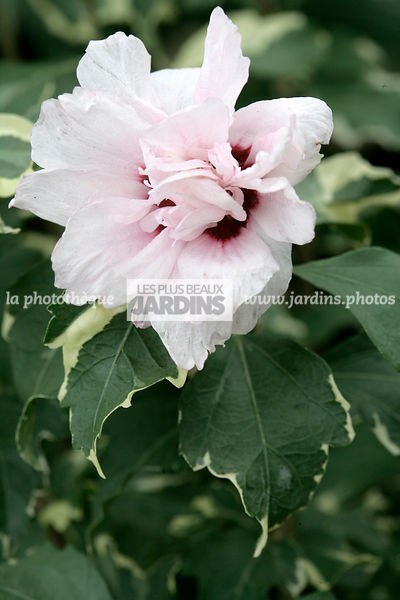 la photothèque   LES PLUS BEAUX JARDINS   Hibiscus syriacus \'America ...