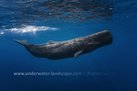sperm whale-underwater photography