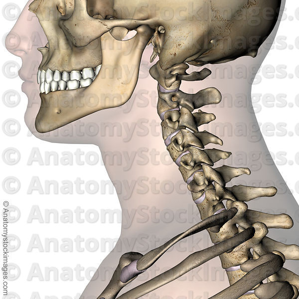 Anatomy Stock Images Neck Intervertebral Disc Discus