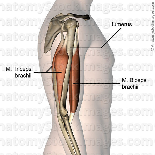 Anatomy Stock Images | upper-arm-musculus-triceps-brachii-biceps ...