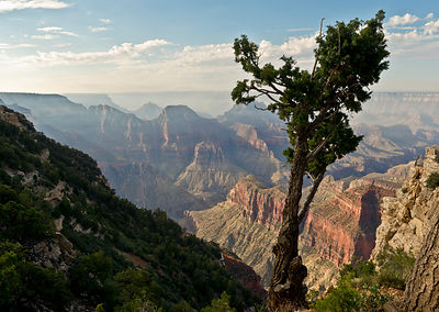 Stunted pine, North Rim, Grand Canyon