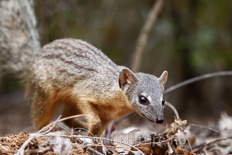 Narrow-striped Mongoose, Malagasy Narrow-striped Mongoose Stock ...