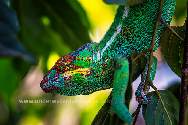 Panther Cameleon - Nosy be picture-Madagascar photo-