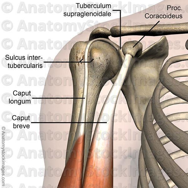 Anatomy Stock Images | shoulder-sulcus-intertubercularis-tuberculum ...
