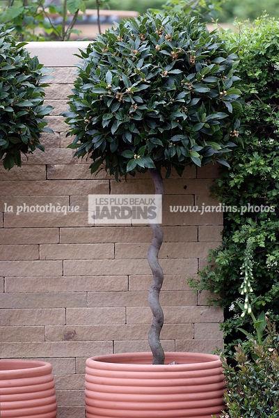 la phototh que les plus beaux jardins laurus nobilis laurier sauce arbuste persistant sur. Black Bedroom Furniture Sets. Home Design Ideas