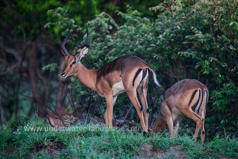 South Africa: pictures of animals in the Kruger National park-Impala