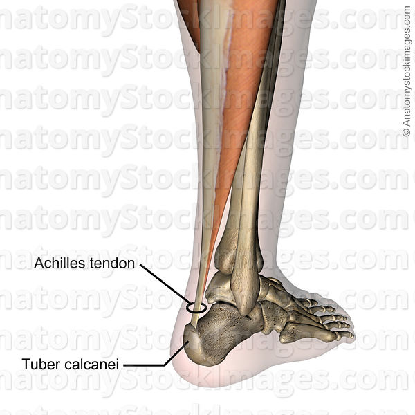 Anatomy Stock Images   lowerleg-achilles-tendon-back-skin-names